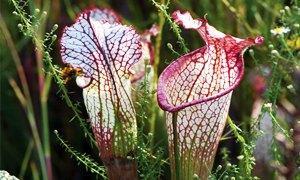 Superb Sarracenia Leucophylla300X180. La Sarracenia Leucophylla è Una Pianta  Carnivora ...