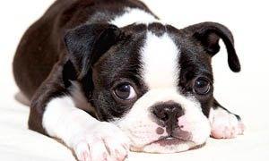 Cani da compagnia piccola taglia pelo corto