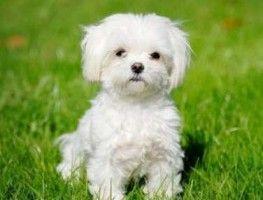 cane-piccolo-maltese