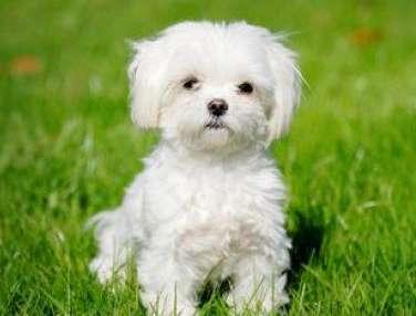Cani da appartamento piccola taglia le razze perfette for Nomi per cagnolini di piccola taglia