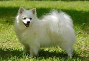 cani-piccola-tagila-volpino-italiano