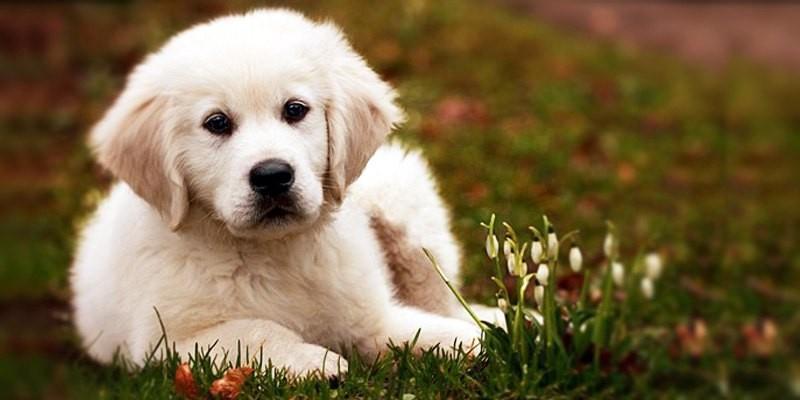 Il Labrador: un cane dal carattere meraviglioso  best5.it