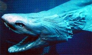 frilled shark300X180