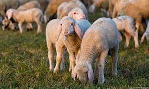 pecore-300x180