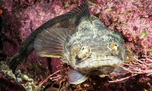 pesce cadetto300X180