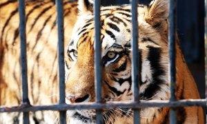 tigre siberiana 300x180