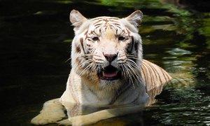 tigre singapore 300x180