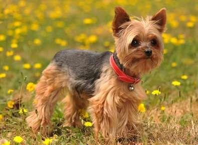 Cani da appartamento piccola taglia le razze perfette for Marsupio per cani di piccola taglia