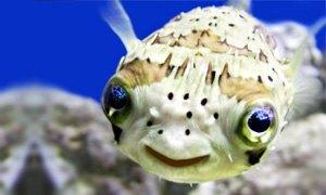 Puffer-Fish-300X180