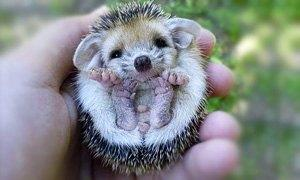 Pygmy-Hedgehog-300X180