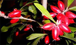 frutto-miracolo-300X180