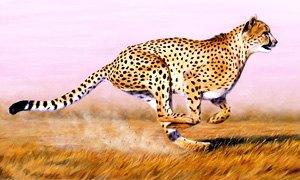 ghepardo-300X180