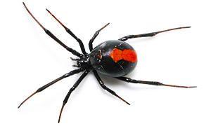 ragno dal dorso rosso300X180