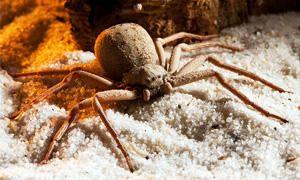 Il ragno violino: un velenoso aracnide che vive in Italia
