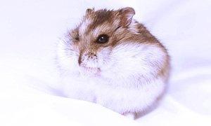 russian hamster-300X180