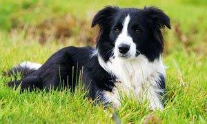 Border collie-300X180
