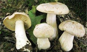 Fungo Velenoso - Entoloma Sinuatum