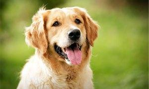 Golden retriever-300X180