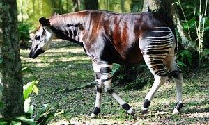 Okapi-300X180