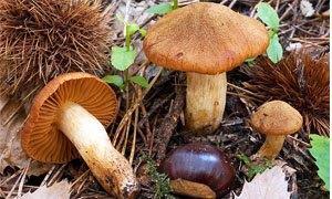 Fungo Velenoso - Cortinarius Orellanus