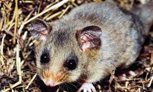 opossum pigmeo-300X180