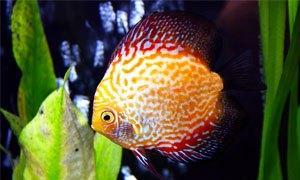 pesce discus-300X180