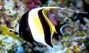 pesce idol-300X180