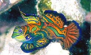 pesce mandarino-300X180
