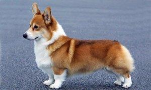 Welsh Corgi-300X180