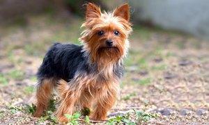 Yorkshire Terrier-300X180