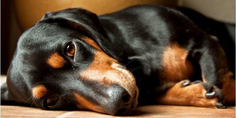 Cani piccola taglia le razze pi adatte per tenerle in casa for Casa progetta il trotto del cane
