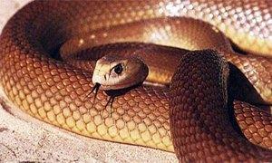 serpente velenoso taipan2-300X180
