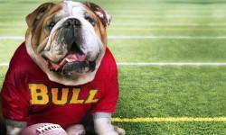 Bulldog inglese: tutte le caratteristiche di questo nobile combattente