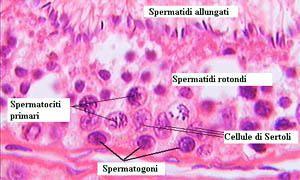 Le cellule di Sertoli-300x180