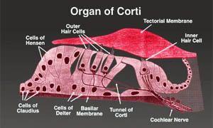 L'organo del Corti-300x180