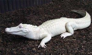 aligatore bianco-300X180