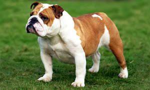 cane-bulldog-inglese