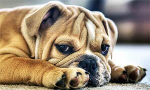 cane-bulldog-inglese-6-300x180