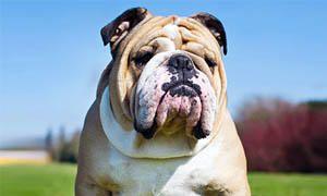 cane-bulldog-inglese-5-300x180