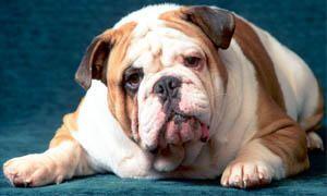 cane-bulldog-inglese-4-300x180