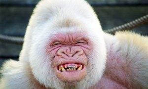 gorilla bianco-300X180
