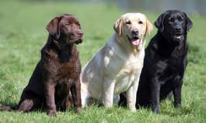 3 labrador retriever (marrone, beige, nero)