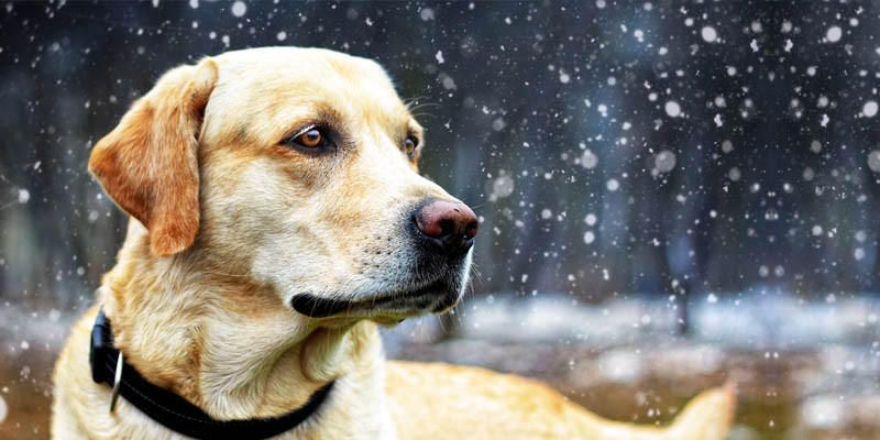Il Labrador Un Cane Dal Carattere Meraviglioso Best5it