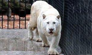 pantera bianca-300X180