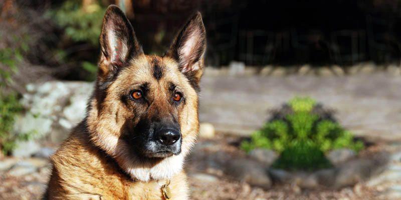 Pastore Tedesco Un Cane Di Carattere Nobile E Prezioso Best5it