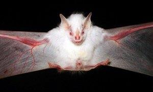 pipistrello bianco-300X180