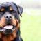 Rottweiler: tutto su questo intrepido gigante buono.