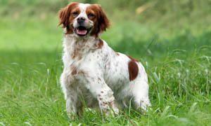 cane da caccia - Épagneul Breton 300x180
