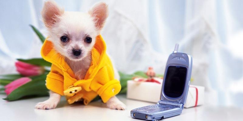 Chihuahua 2 800x400