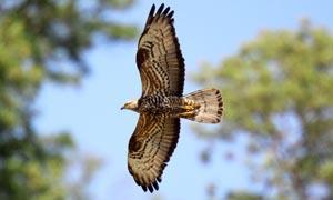Falco pecchiaiolo 300x180